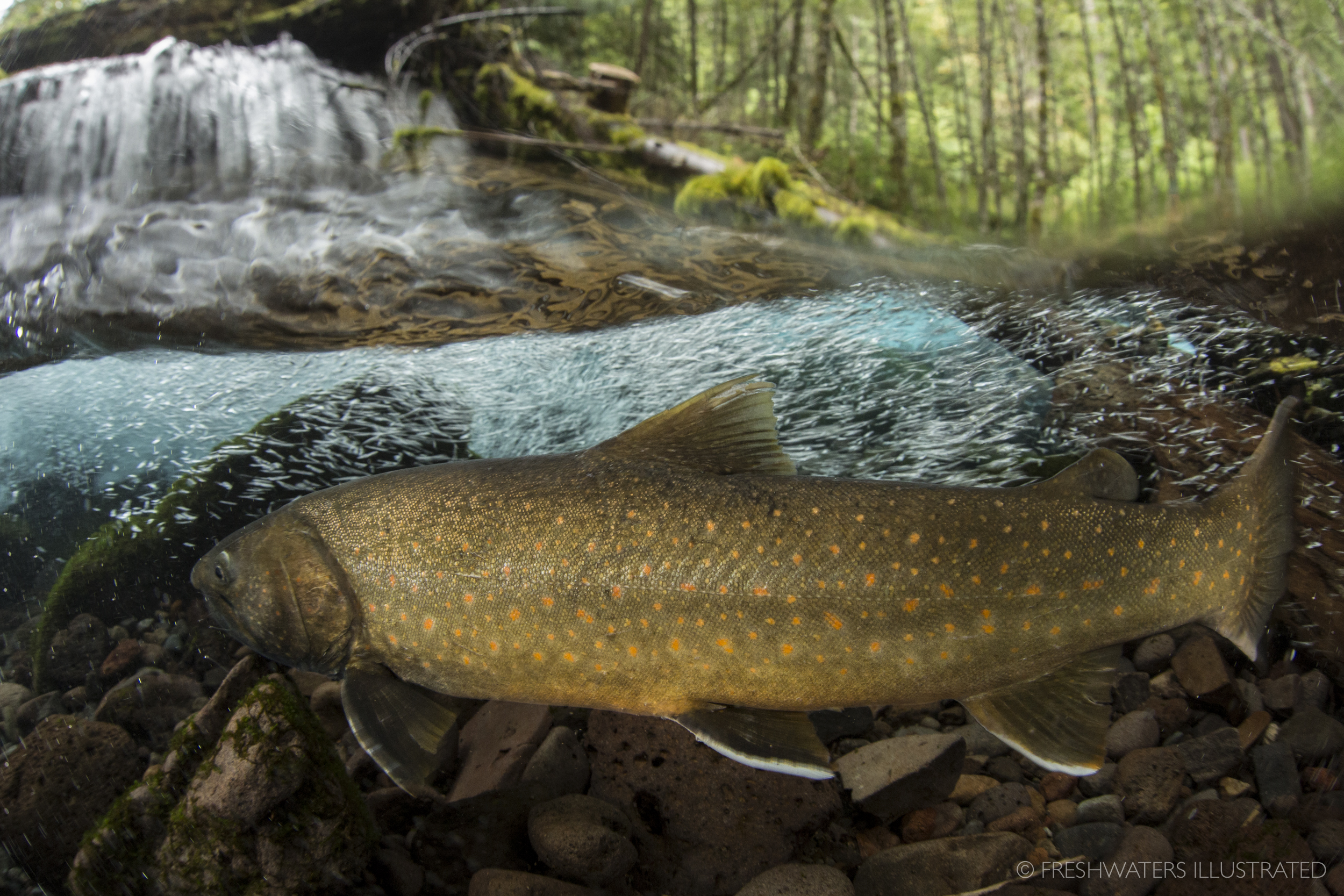 A large bull trout (Salvelinus confluentus) migrates up a headwater stream. Roaring River, Oregon  www.FreshwatersIllustrated.org