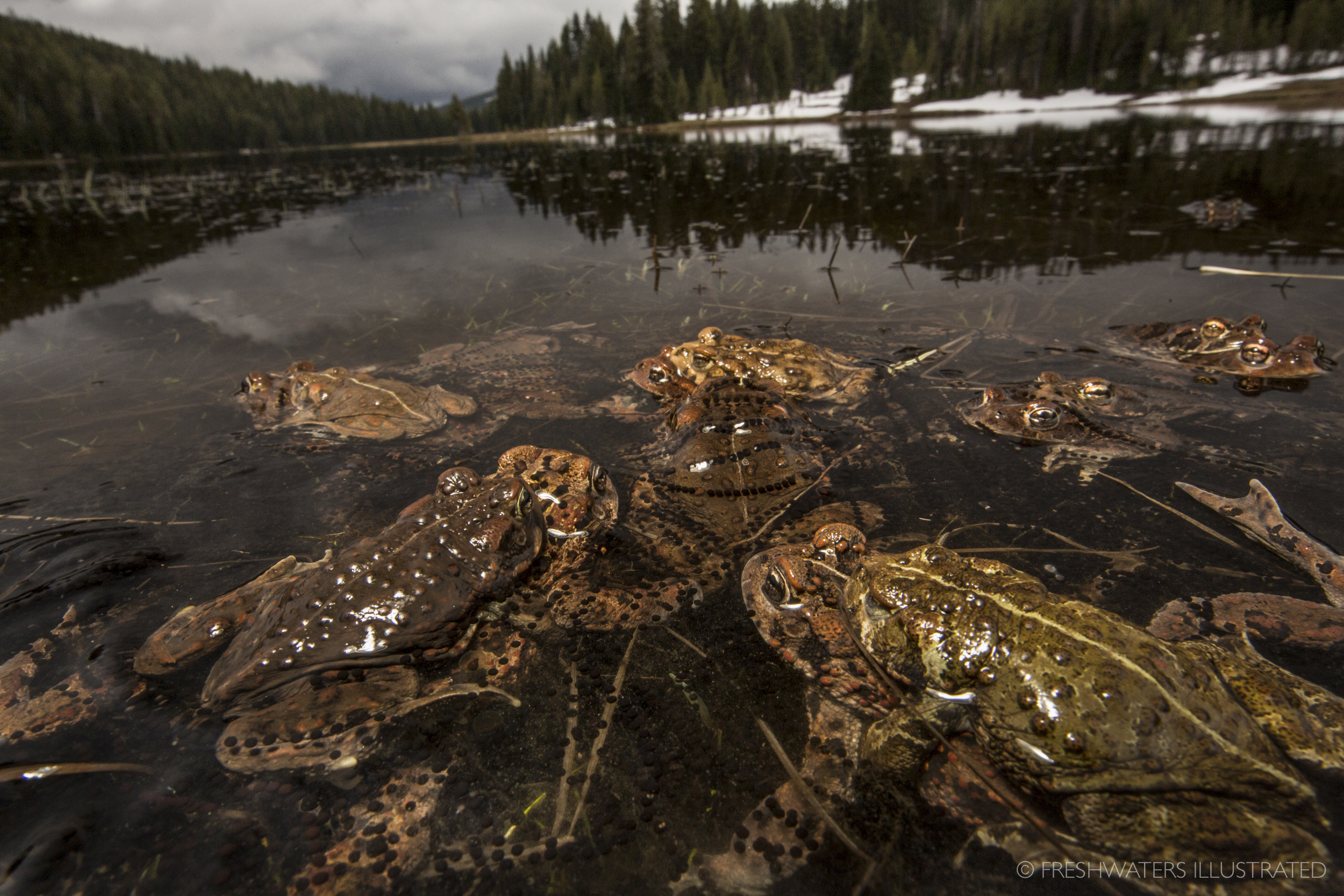 In the shadows of of Oregon's Mount Bachelor hundreds of western toads (Anaxyrus boreas) are on the move in search of potential mates. The alpinists of the amphibian world, these tough mountain toads emerge to breed right as the snowpack and ice begin melting from the landscape. Cascades, Oregon  www.FreshwatersIllustrated.org