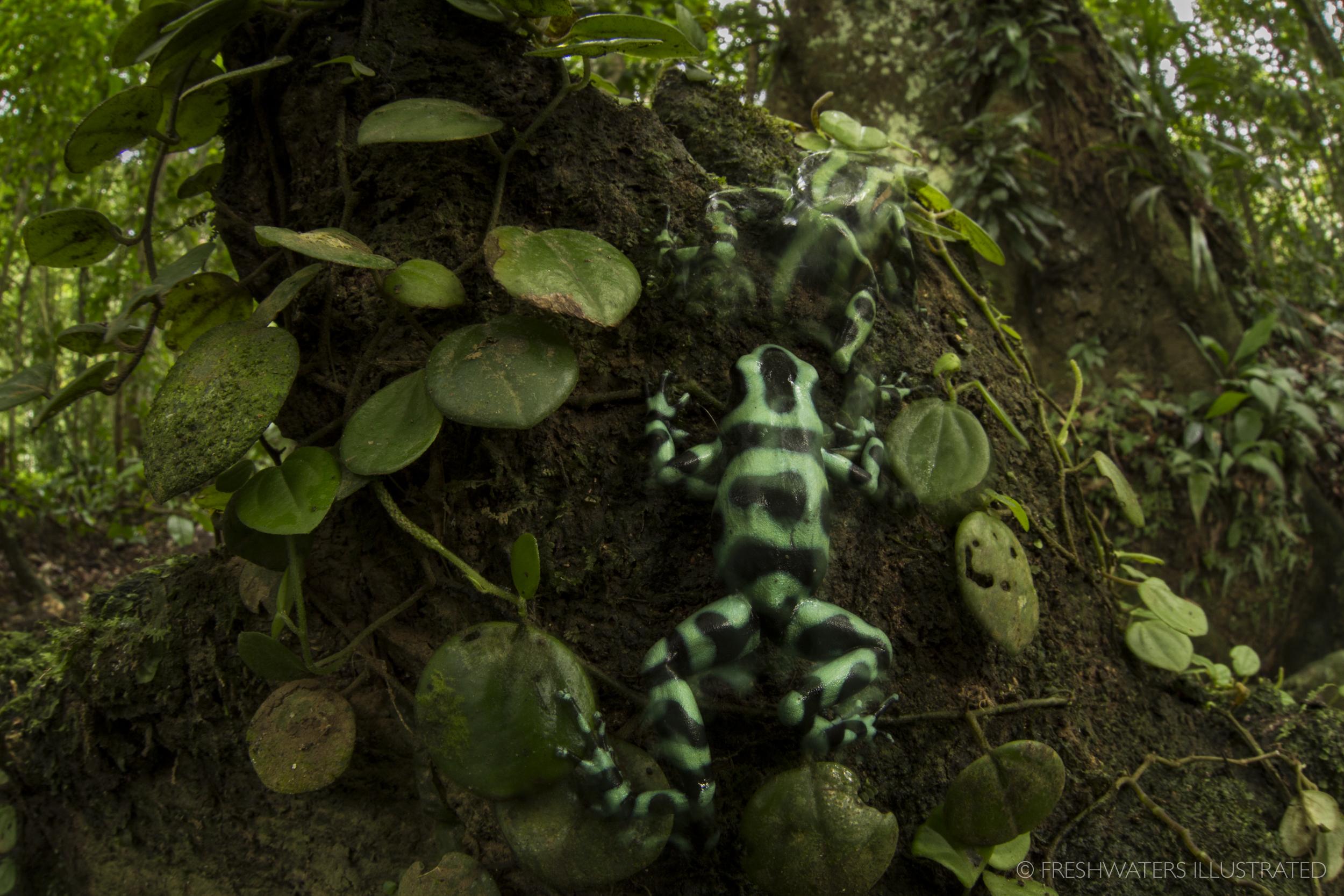 Territorial dispute between two green and black poison dart frogs (Dendrobates auratus) Talamanca, Costa Rica
