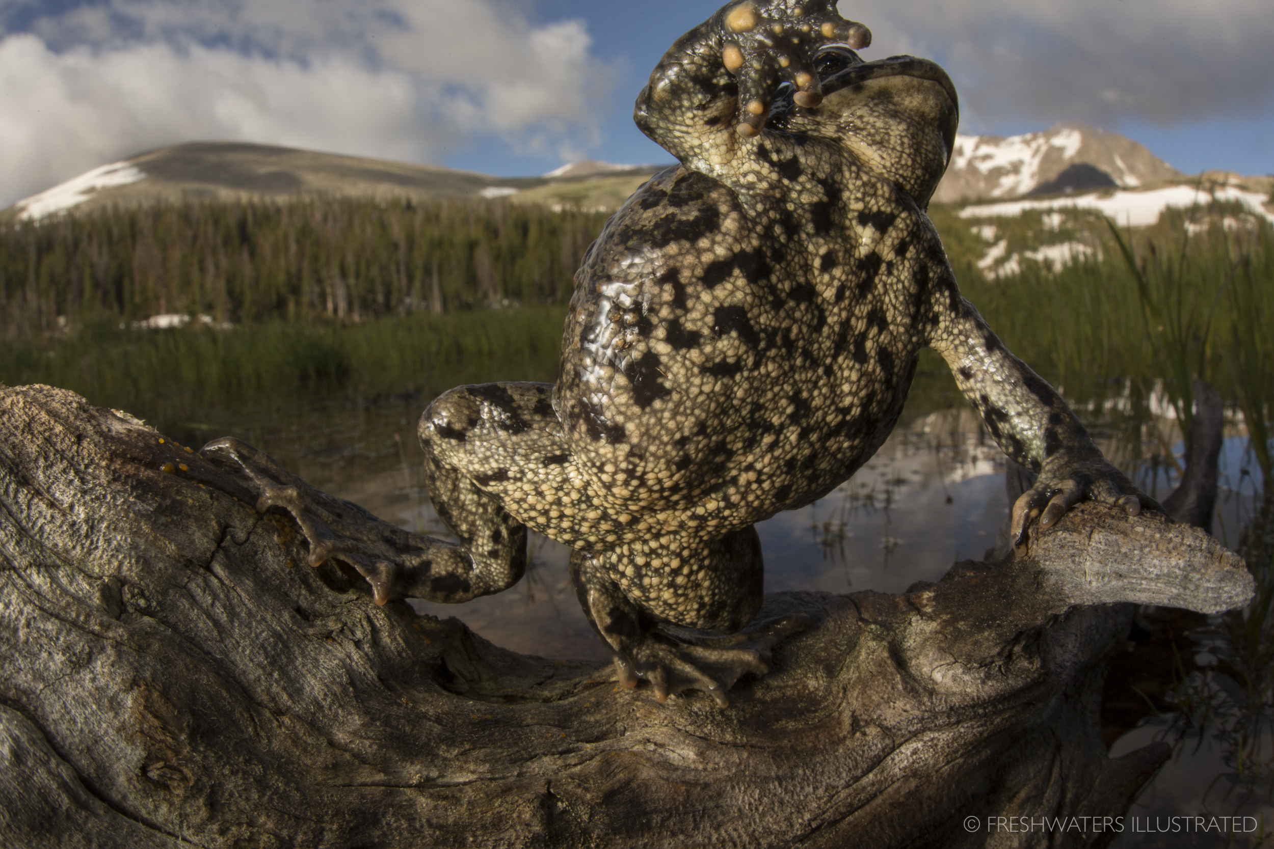 Boreal toad (Anaxyrus boreas) Rocky Mountain National Park, Colorado  www.FreshwatersIllustrated.org