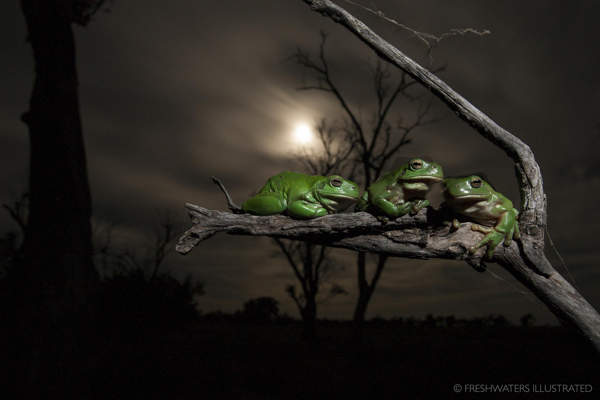 Green tree frogs (Litoria caerulea) Macquarie Marshes, Australia