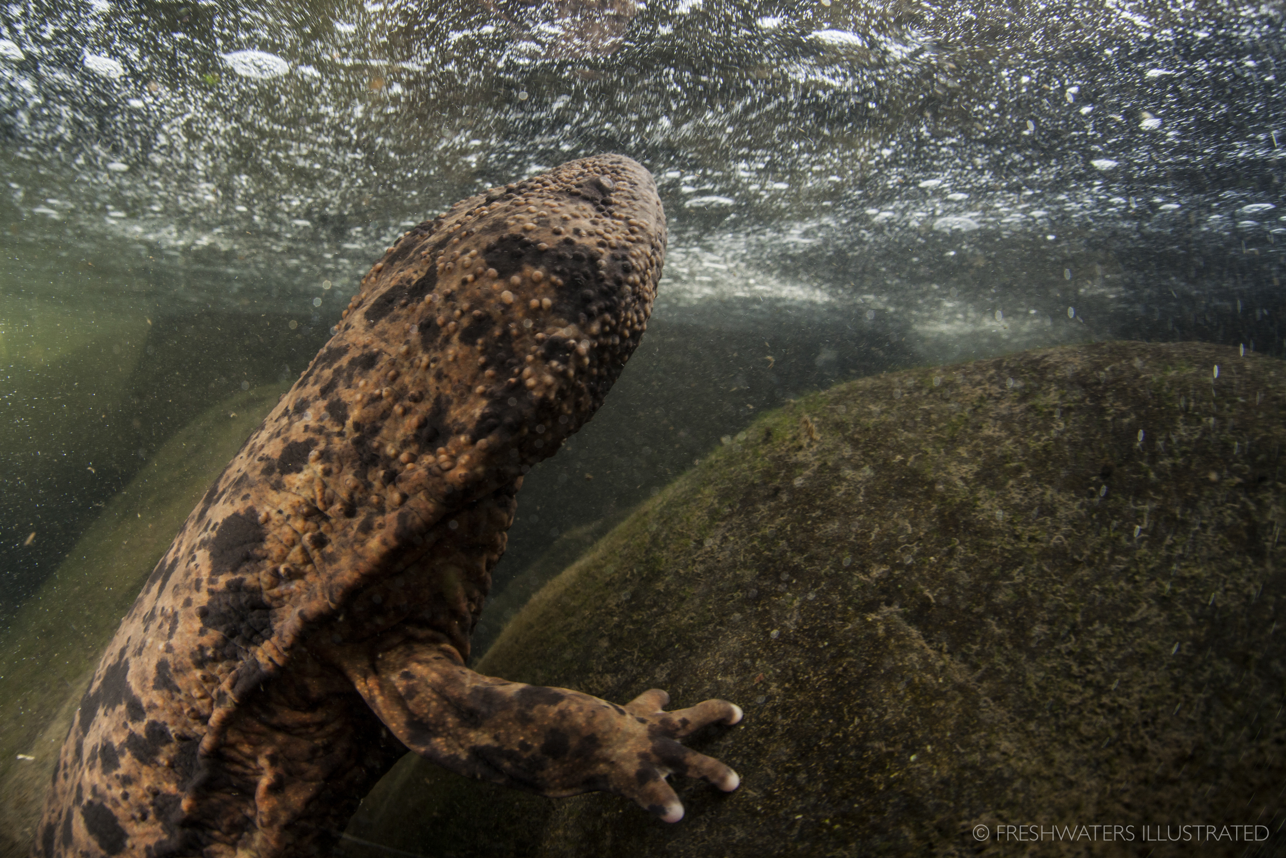 Japanese giant salamander (Andrias japonicus) Japan  www.FreshwatersIllustrated.org
