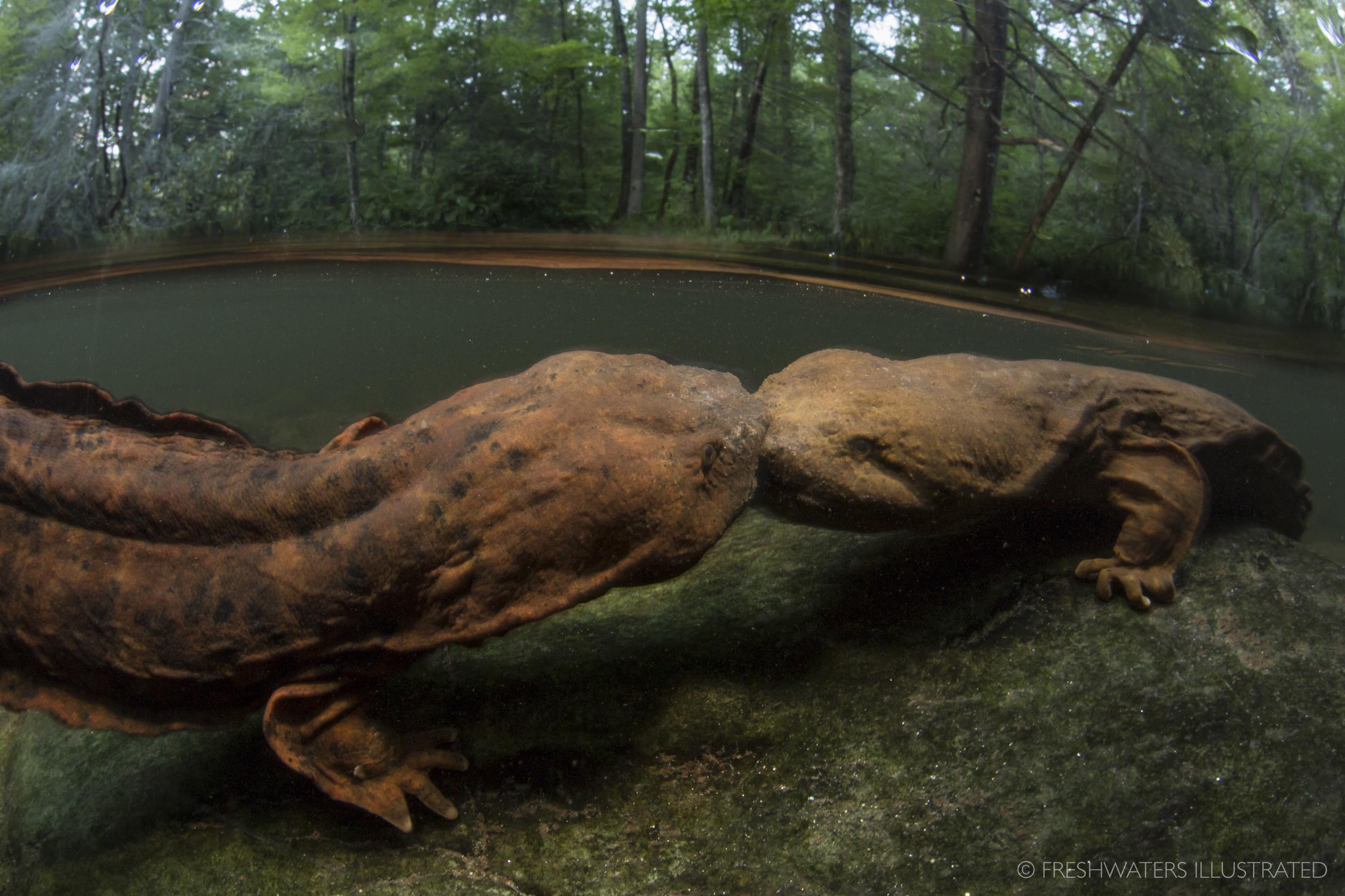 Two male Eastern hellbenders (Cryptobranchus alleganiensis) fight over prime breeding habitat. North Carolina  www.FreshwatersIllustrated.org