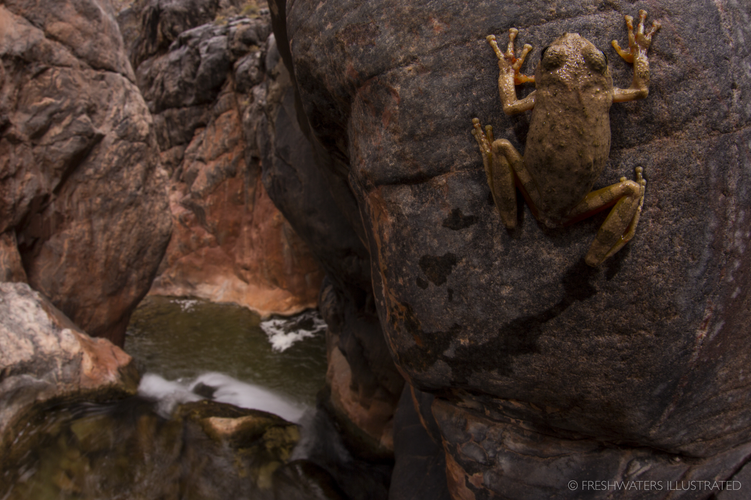 Canyon tree frog (Hyla arenicolor) Grand Canyon, Arizona  www.FreshwatersIllustrated.org   http://www.gcmrc.gov