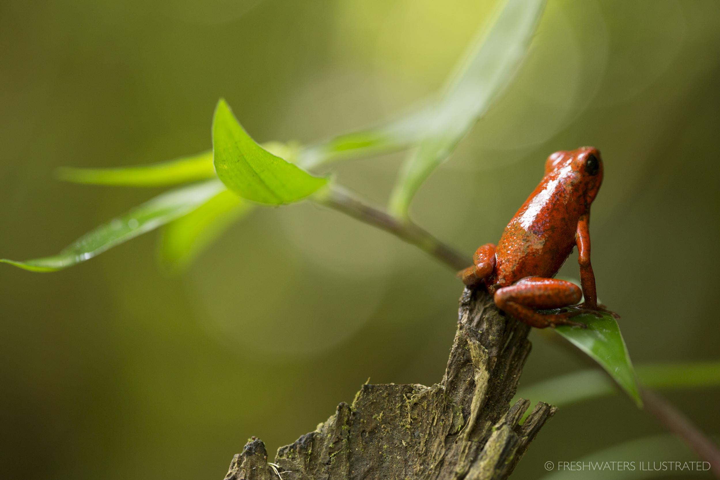 Strawberry poison-dart frog (Oophaga pumilio) Rio Carbon, Costa Rica