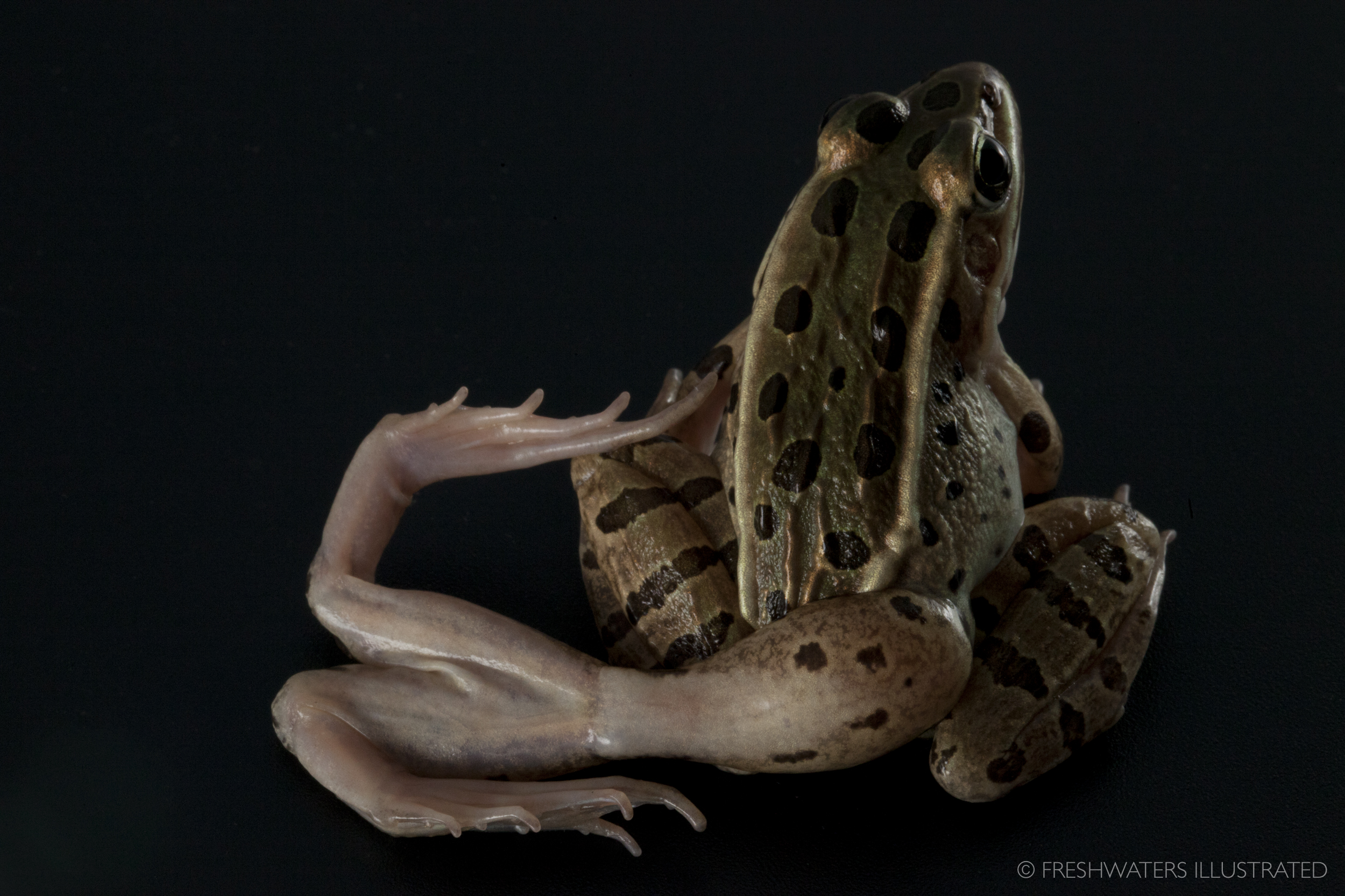 A Northern leopard frog with limb deformities caused by a parasitic flatworm. Current work by Dr. Pieter Johnson from the University of Colorado Boulder is trying to understand the factors that drive these malformations.  www.FreshwatersIllustrated.org