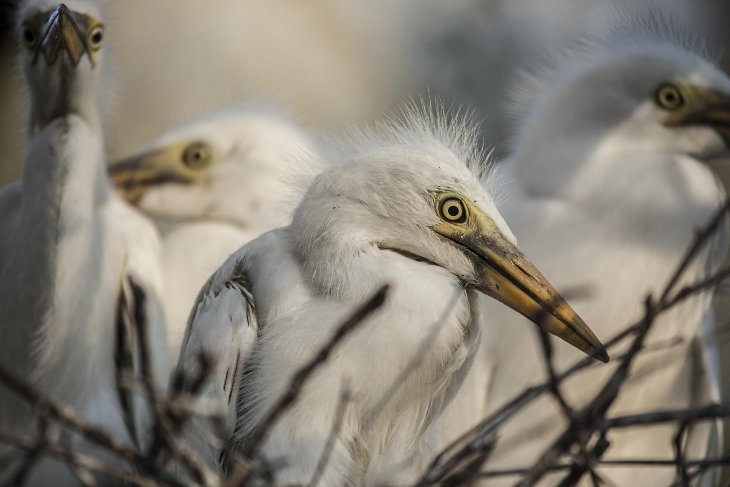 Great egret chicks (Ardea alba) Macquarie Marshes, Australia