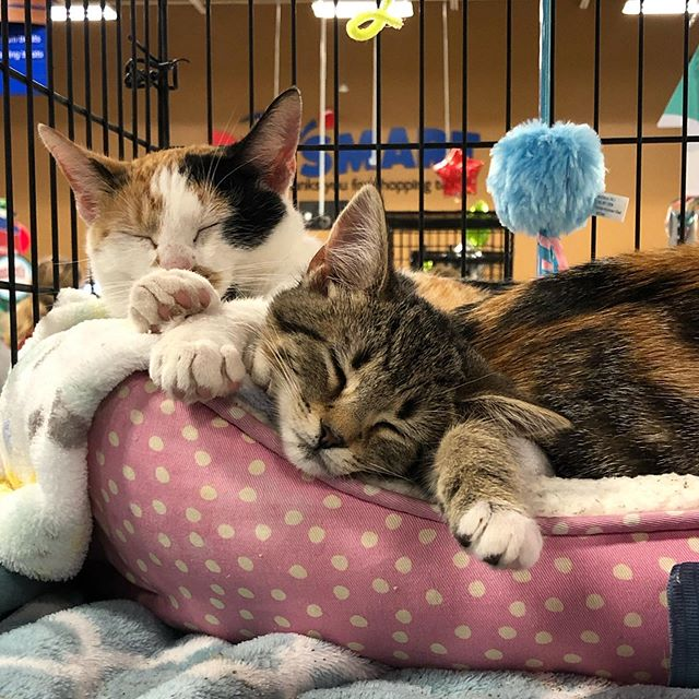 Two is always better than one 👯‍♀️ . Ruthie (2 year old Calico) and Rosa (10 week old Tabby) are still hanging out with us at PetSmart looking for their fur-ever home 💜 . Stop by tonight or tomorrow to meet these sweet girls and their friends 🐱 we also have tons of information on how to become a new SOS volunteer! . . #adoptlove #adoptdontshop #kentucky #lexingtonkentucky #catsofinstagram #catstagram #kittensofinstagram #tnr #tnrworks #soscats #purr #meow #catlover #crazycatlady #communitycats #kittens #spayandneuter #sharethelex  #sharethelex #spay #neuter #petsmart