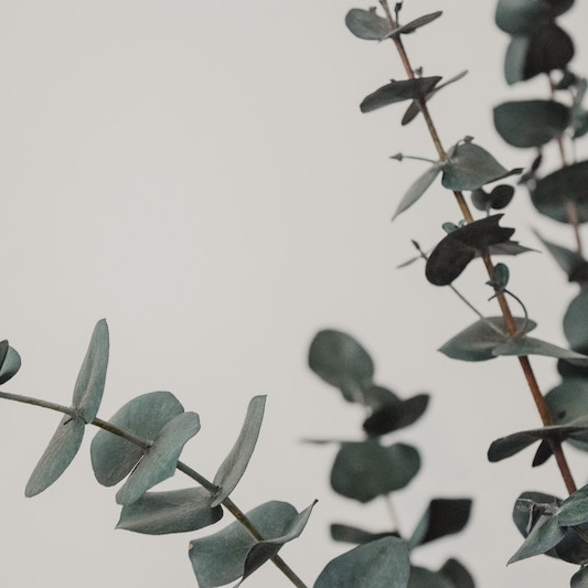 eucalyptus-plant.jpg