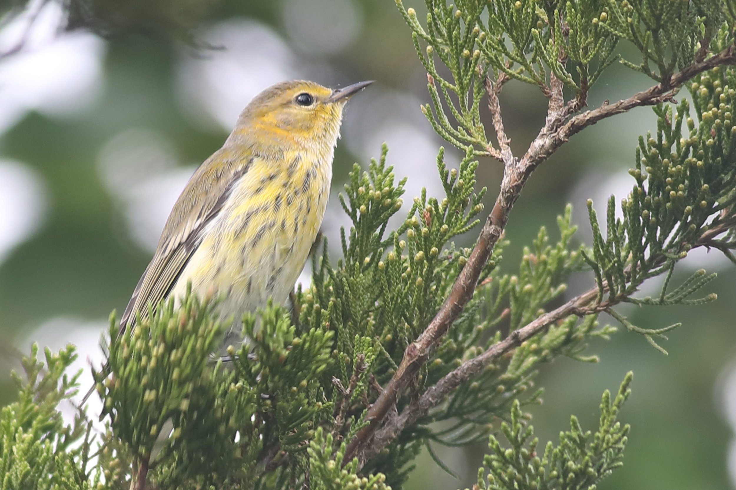 cape may warbler2.JPG