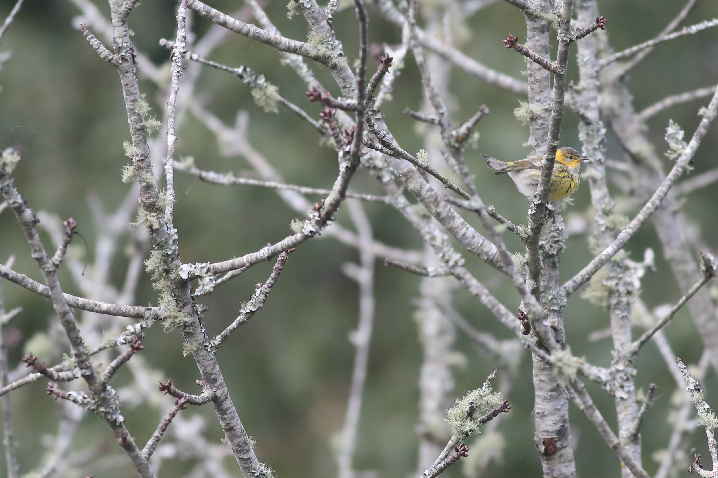 cape may warbler.JPG