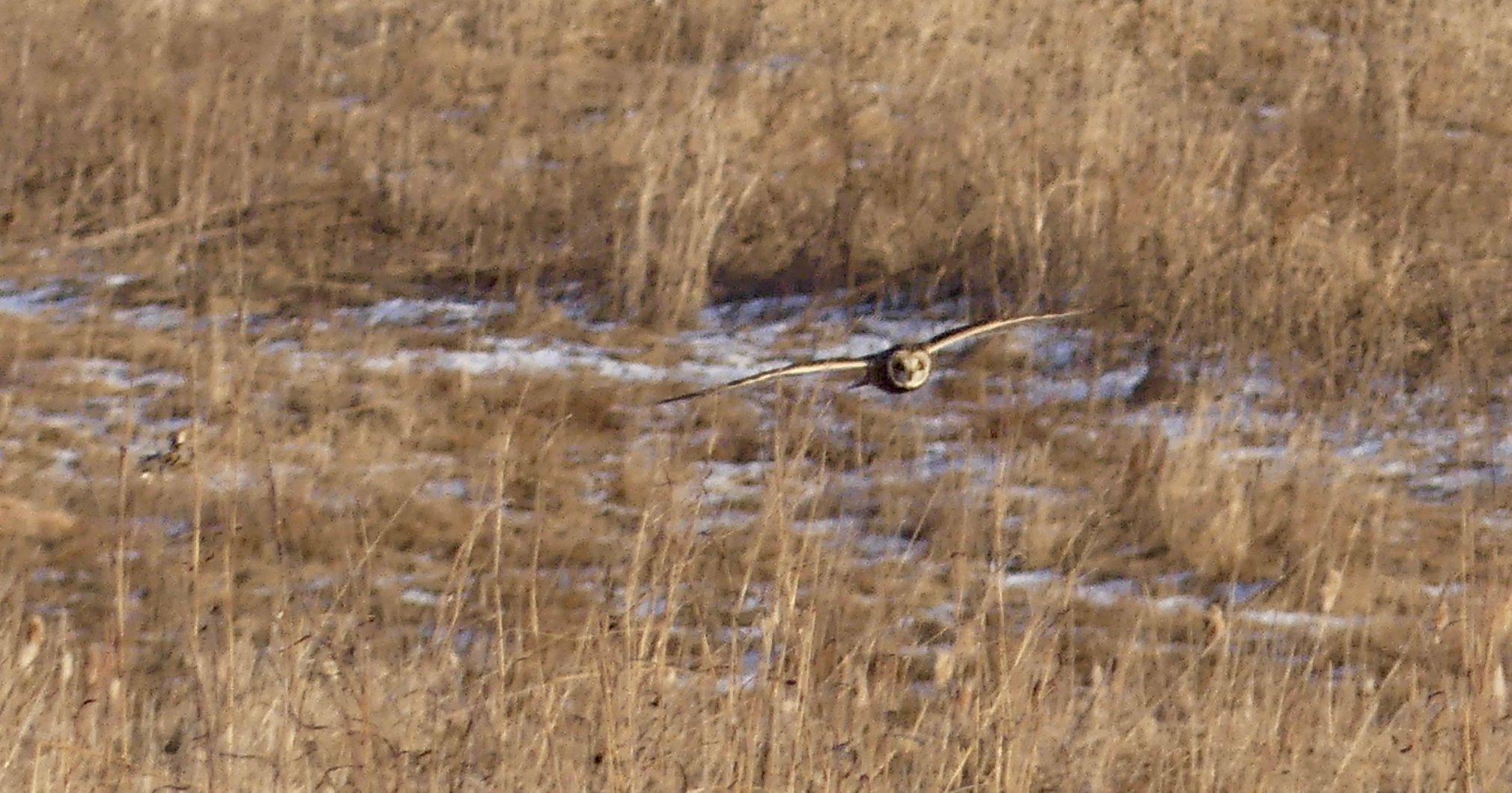 Short-Eared Owl flying low towards you.jpg