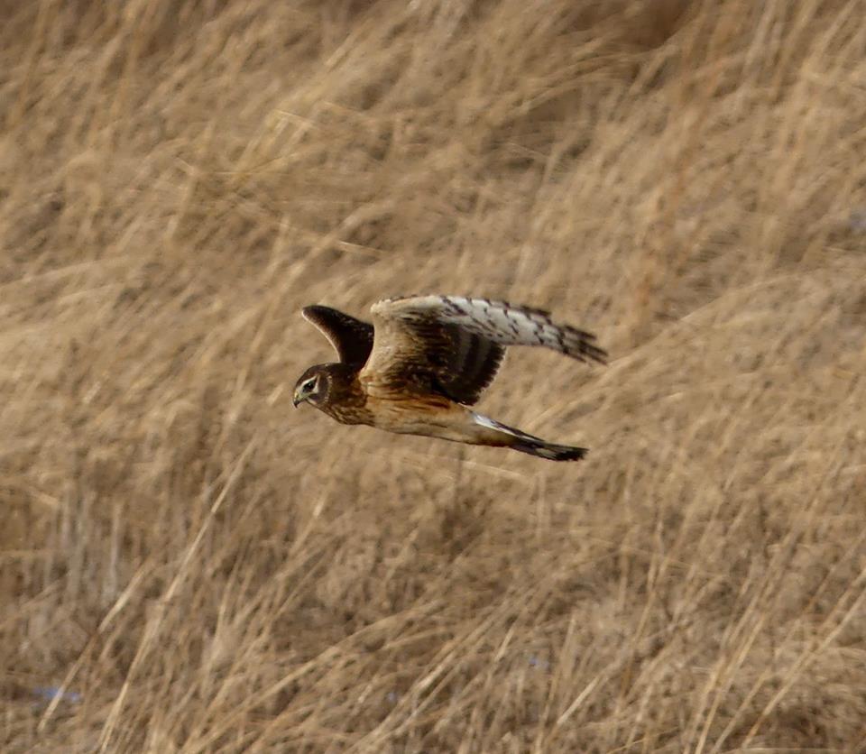 Northern Harrier in a field.jpg