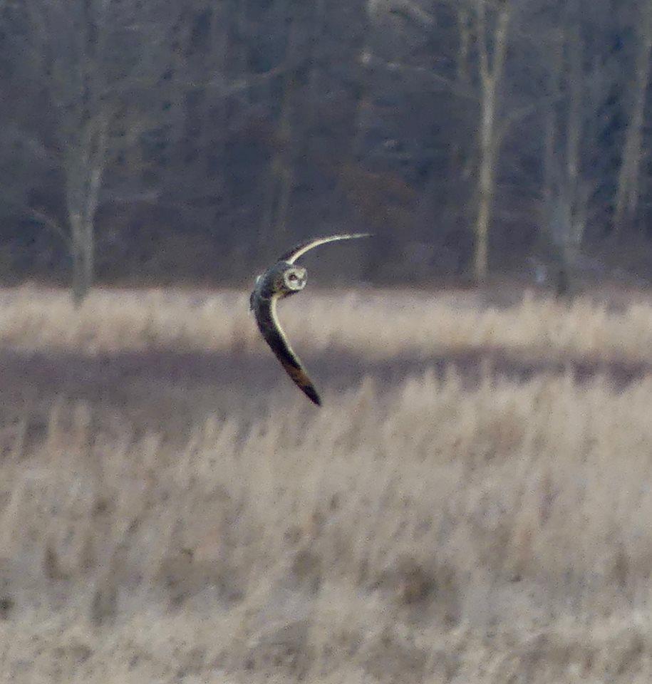 Short-Eared Owl  banks in flight.jpg