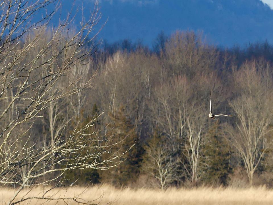 Short-Eared Owl in Winter.jpg