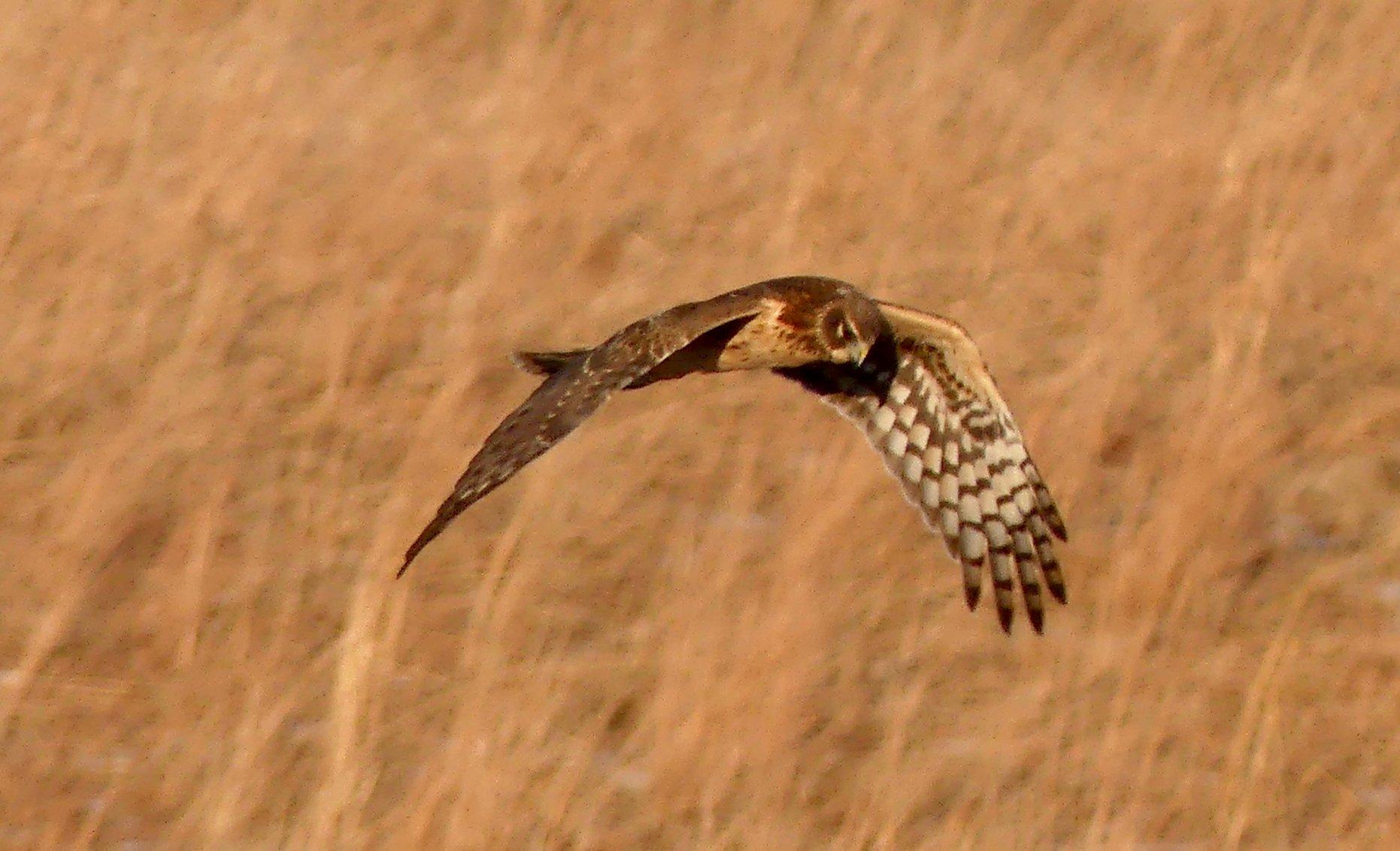 Northern Harrier front view.jpg