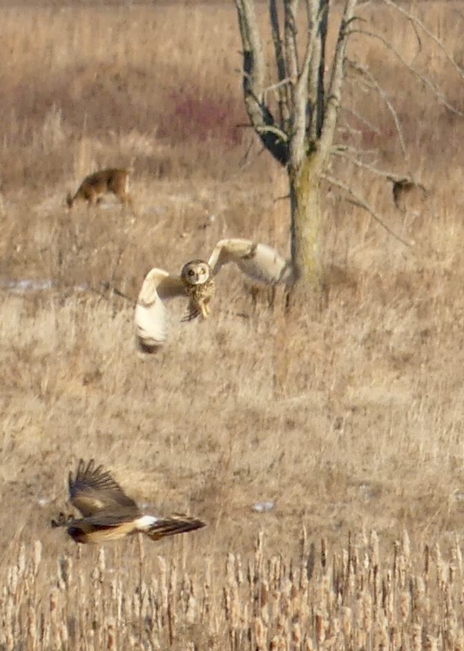 (zoomed in) Short-Eared Owl chasing Northern Harrier with deer in background.jpg