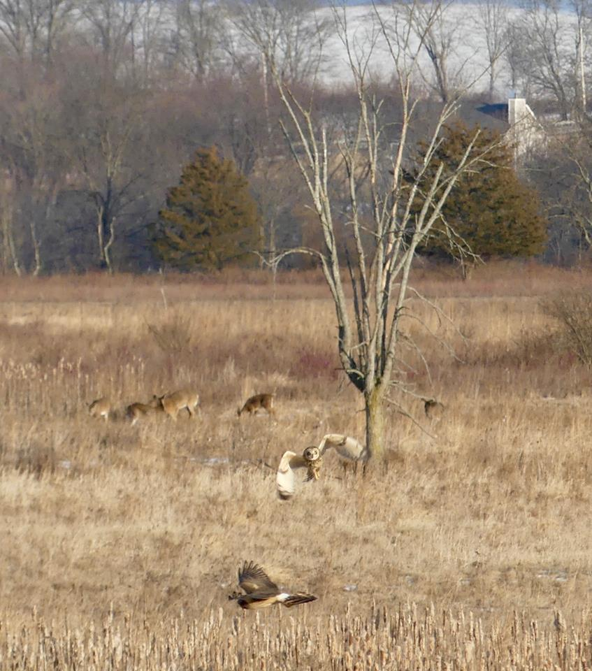 Short-Eared Owl chasing Northern Harrier with deer in background.jpg