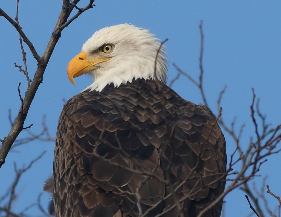 Eagle Photo by Kyle Bardwell shot at Croton Point