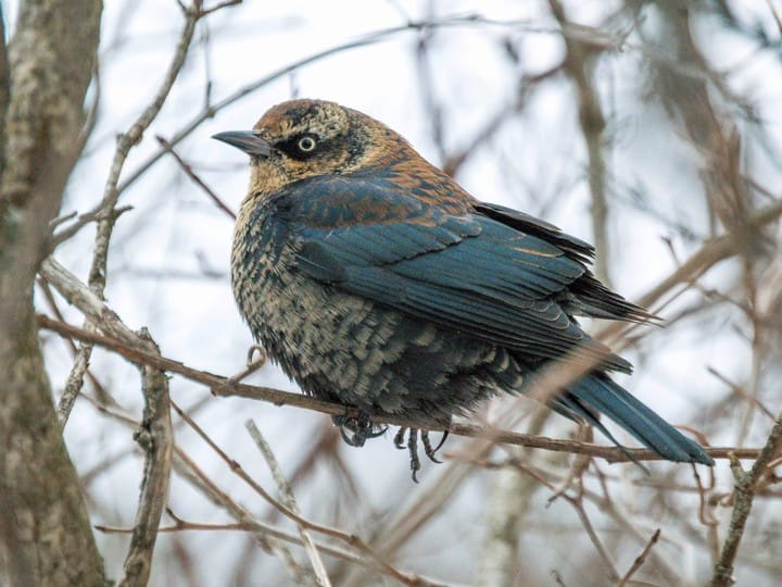 Rusty Blackbird.jpg