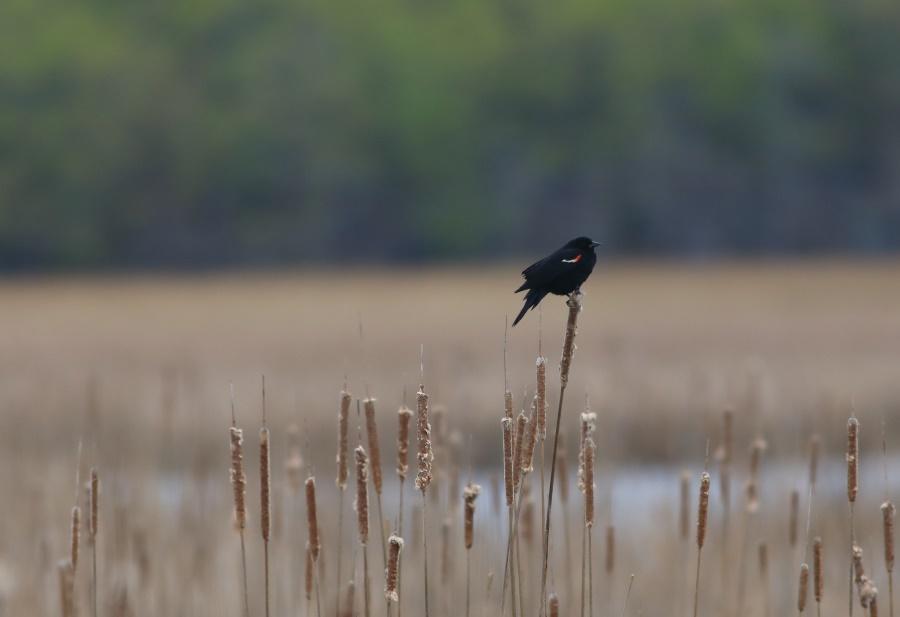 Red-winged Blackbird CMACS Kyle Bardwell Cropped.jpg