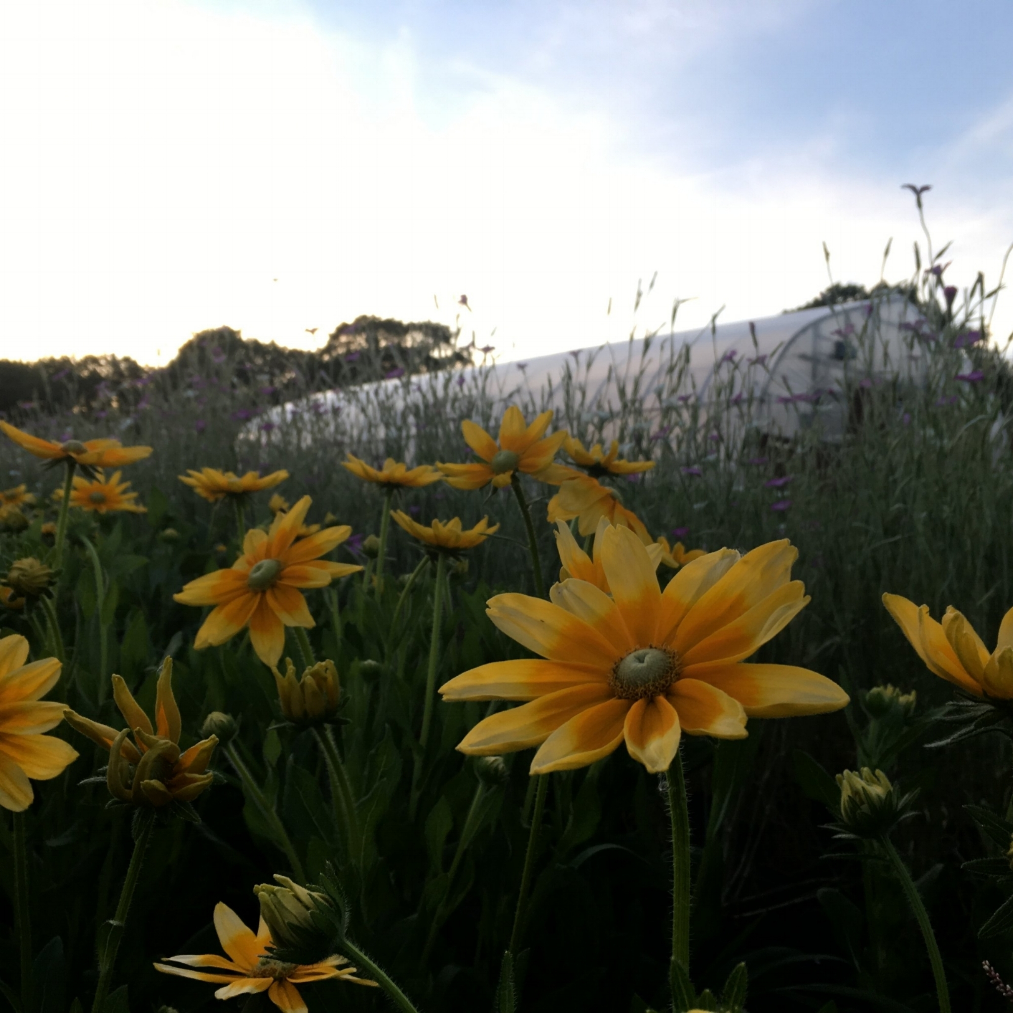 Sunset in Rudbeckias.JPG