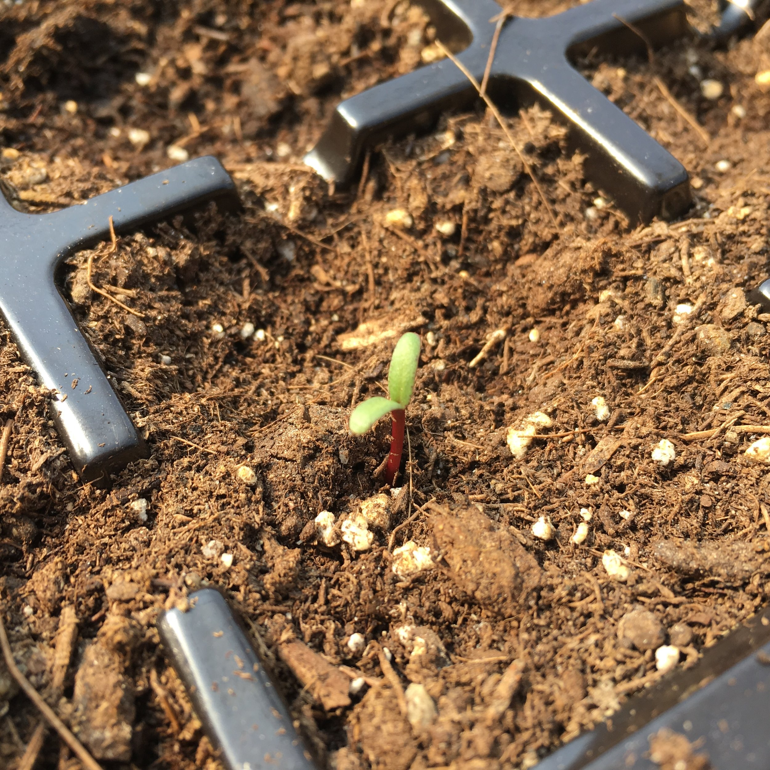 First seedling 2019.jpg