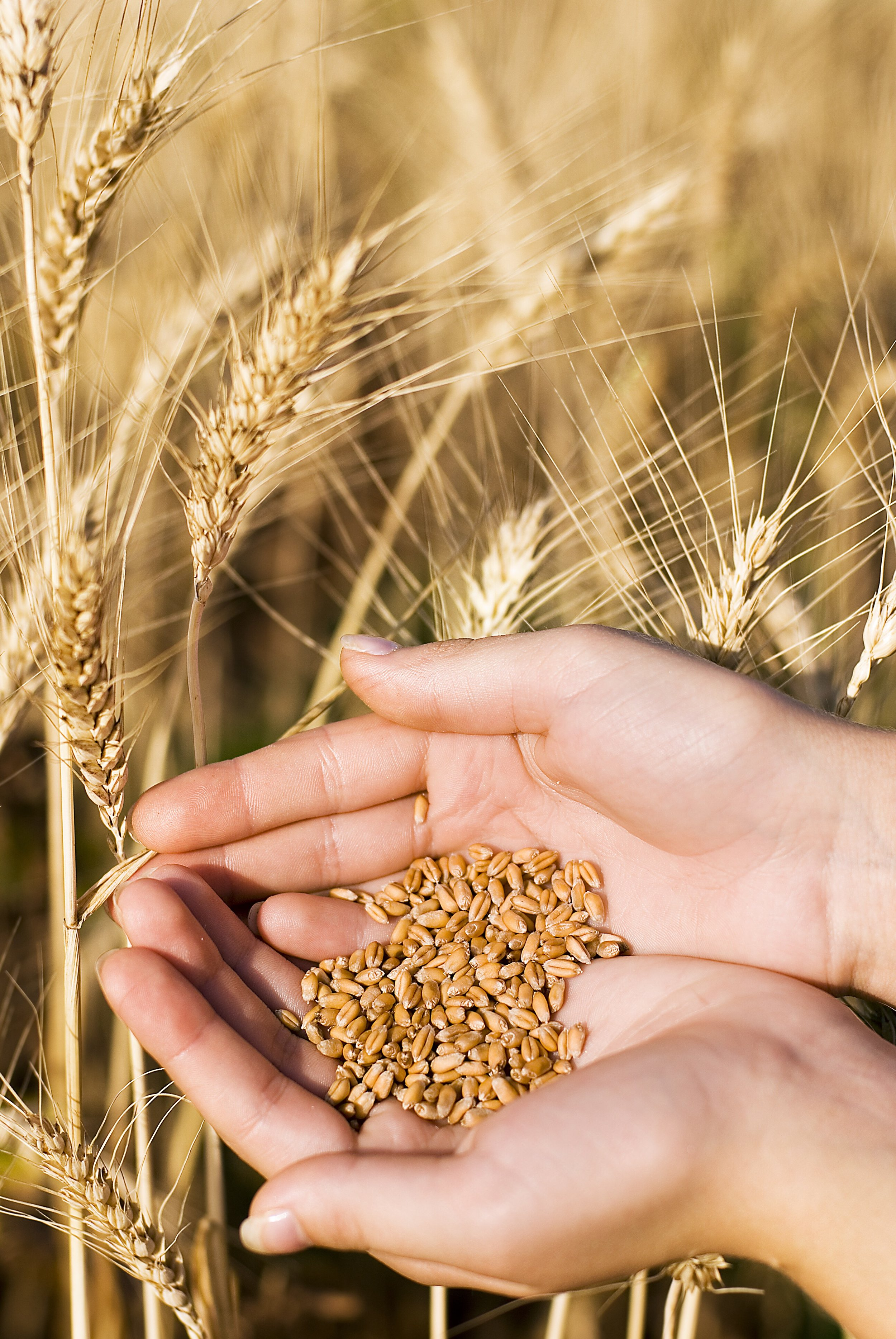 wheat in hand.jpg
