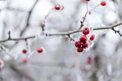 red berries winter.jpeg