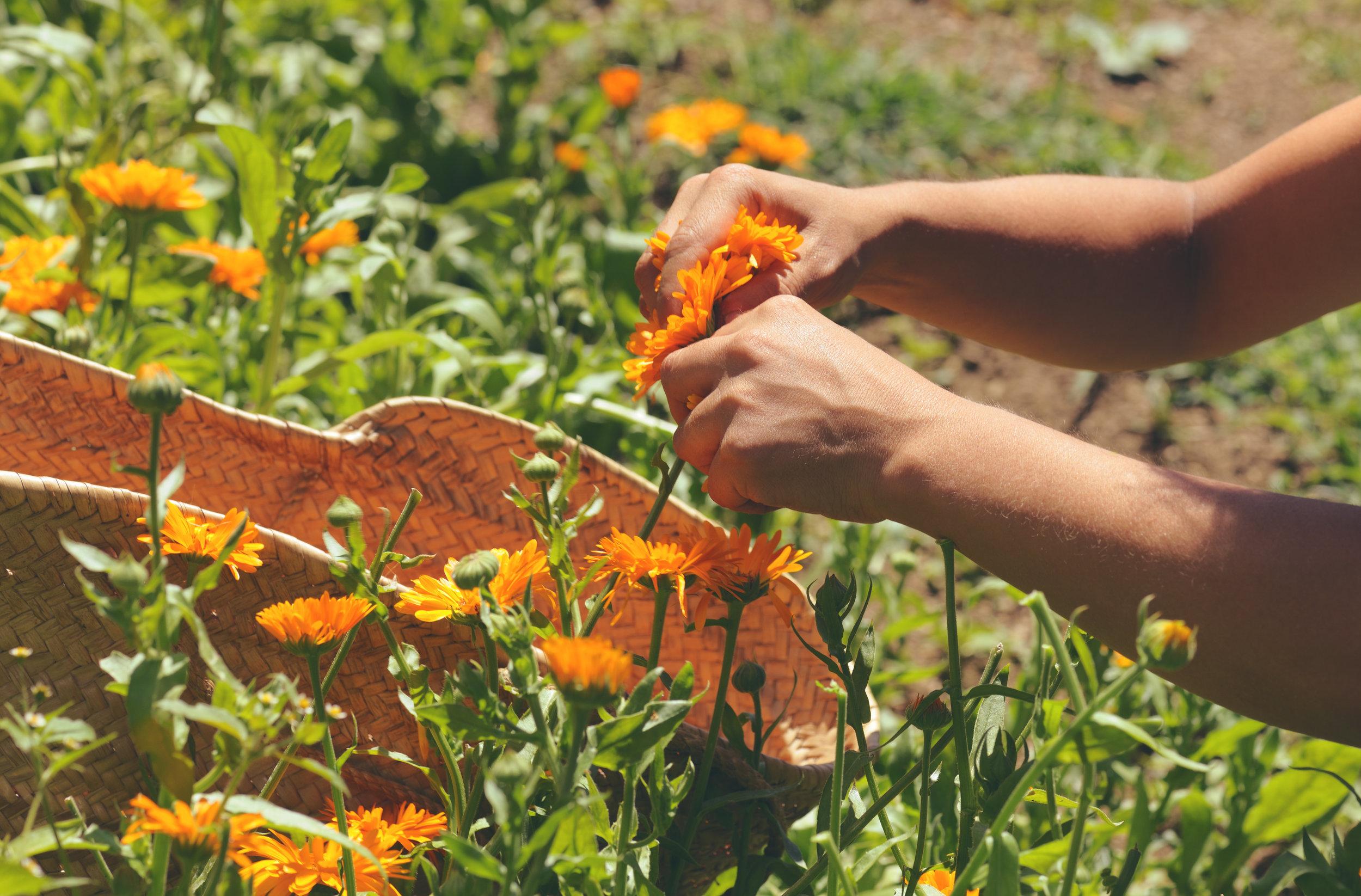 Harvesting calendula.jpeg