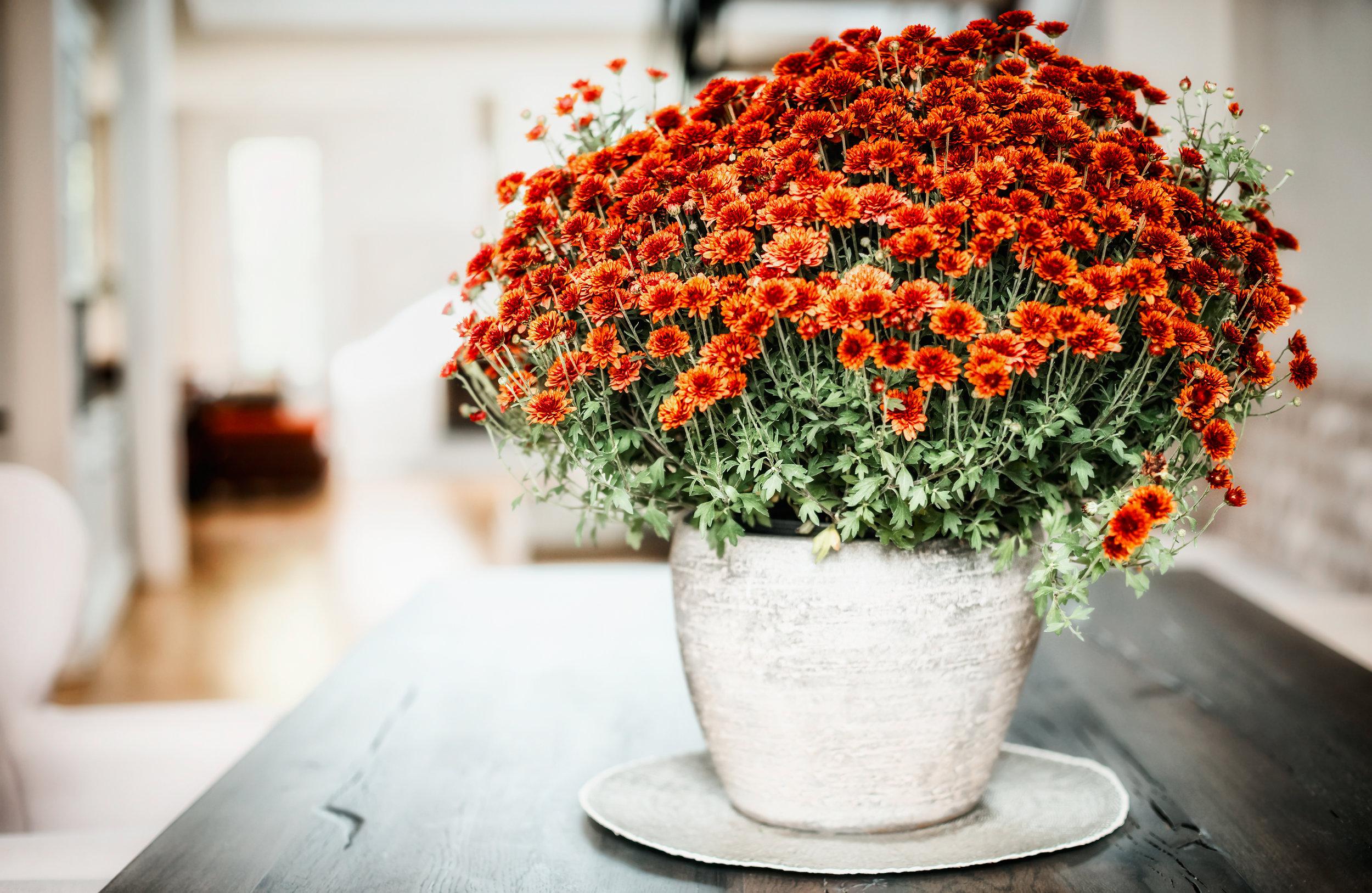 Chrysanthemum_AdobeStock_123016725.jpeg