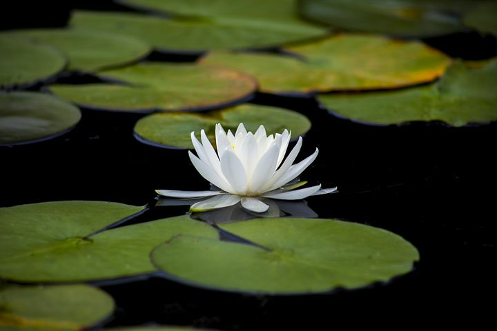 lotus-3144893__480.jpg