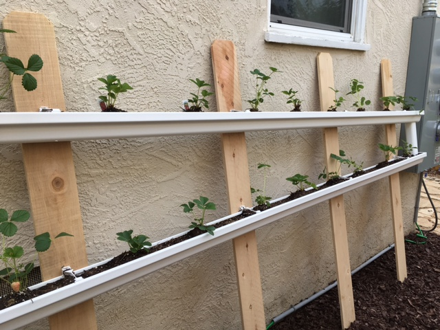 Rain Gutter Strawberries