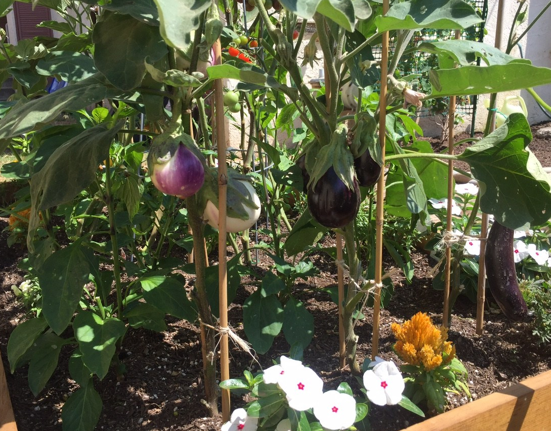 Heirloom Garden Eggplants
