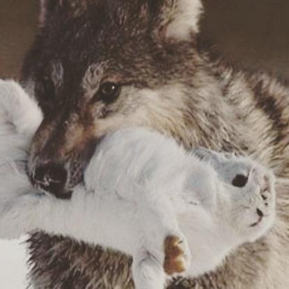 Today I am the hare, tomorrow I shall be the hard  #bitres #bitresGarcia #wolfvhare #harevwolf