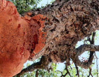 Quercus suber, source of corks