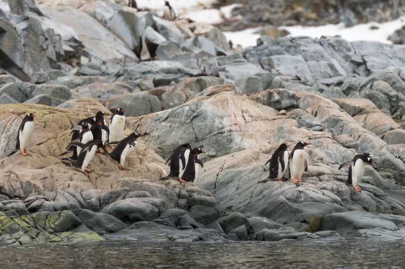 Gentoo Penguins Prepare for a Dive. Cuverville Island, Antarctica