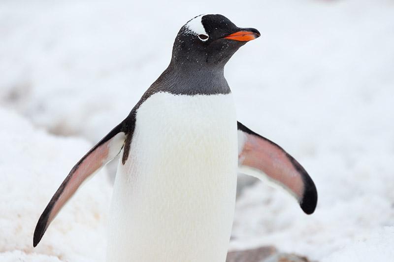 Gentoo Penguin. Cuverville Island. Antarctica