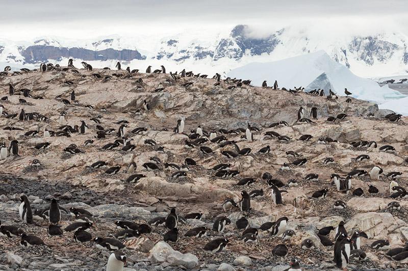 Gentoo Penguin Rookery. Cuverville Island. Antarctica