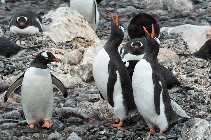Gentoo Penguins Calling. Cuverville Island Rookery, Antarctica