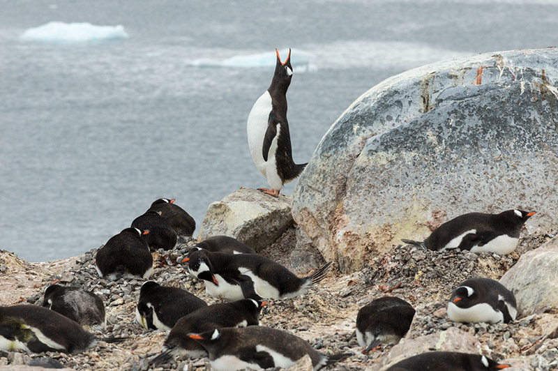 Gentoo Penguin Calling. Cuverville Island Rookery, Antarctica