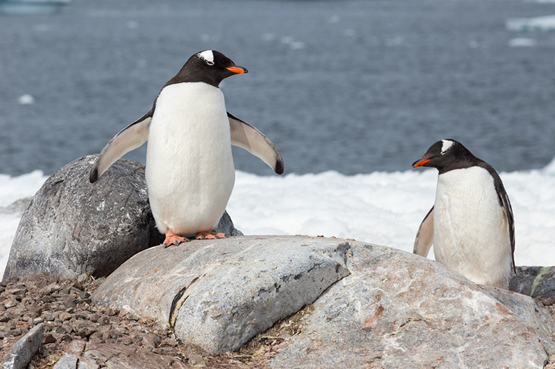 Gentoo Penguins. Cuverville Island Rookery, Antarctica