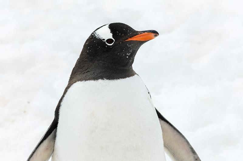 Gentoo Penguin. Cuverville Island Rookery, Antarctica