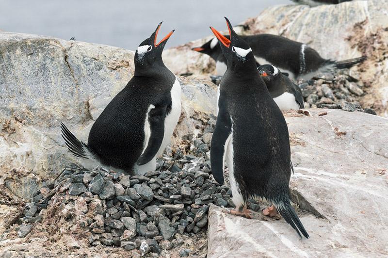 Nesting Gentoo Penguins. Cuverville Island Rookery, Antarctica