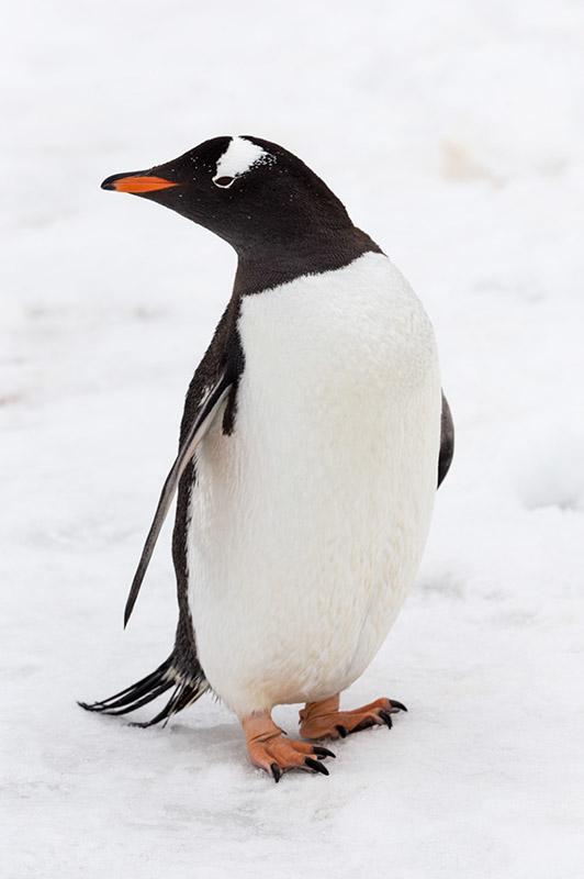 Gentoo Penguin in Profile. Cuverville Island, Antarctica