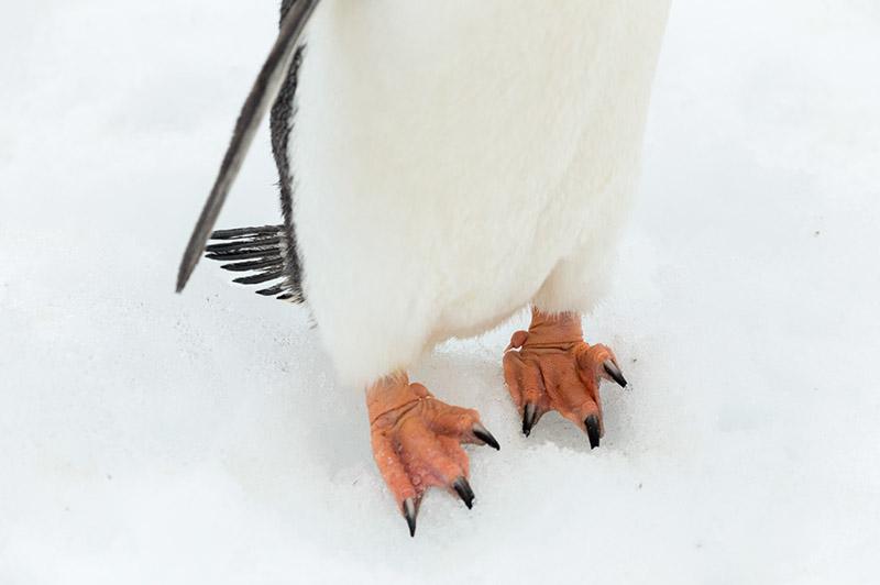 Gentoo Penguin Foot Study. Cuverville Island, Antarctica