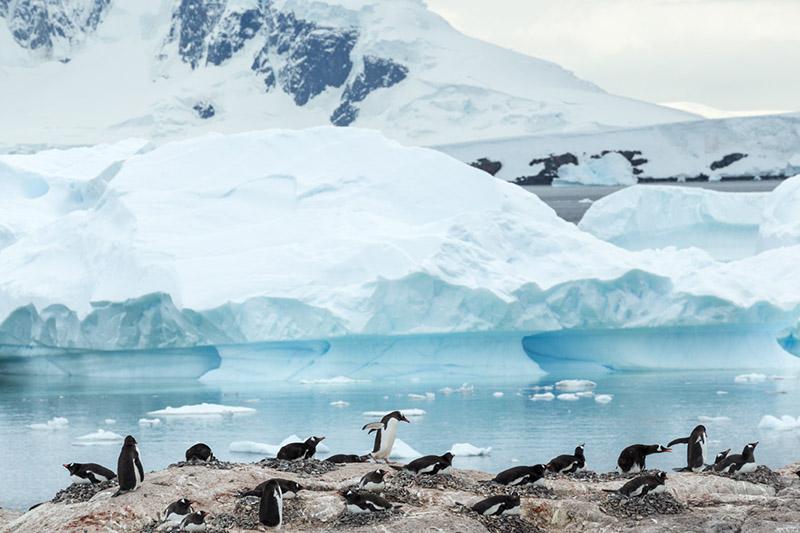 Gentoo Penguin Rookery. Cuverville Island, Antarctica