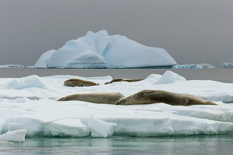 Crabeater Seals on iceflow. Arctowski Peninsula, Antarctica
