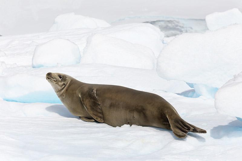 Crabeater Seal. Dallmann Fjords, Antarctica