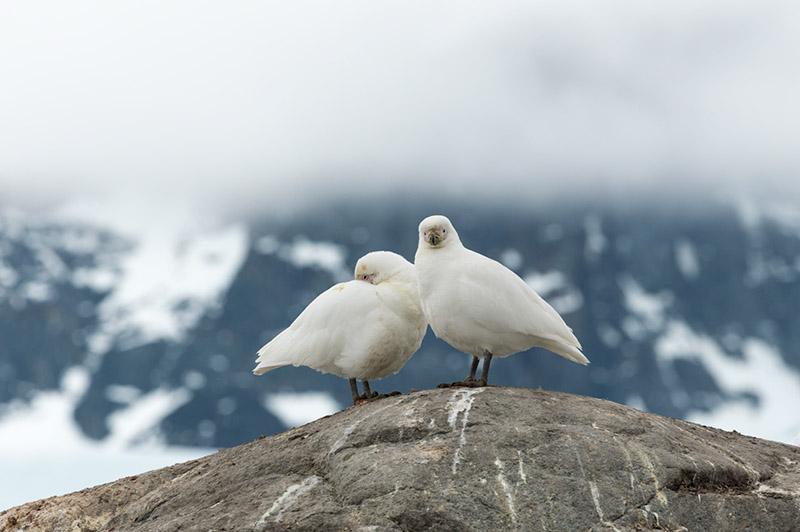 Snowy Sheathbills. British Research Station. Port Lockroy, Antarctica